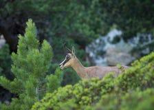 Retrato da cabra-montesa nova Fotografia de Stock Royalty Free