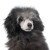 Retrato da caniche do cachorrinho em um estúdio branco do fundo Imagem de Stock Royalty Free