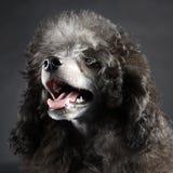 Retrato da caniche do cachorrinho em um estúdio escuro Imagens de Stock Royalty Free