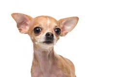 Retrato da chihuahua Imagens de Stock