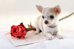 Retrato da chihuahua com Rosa Fotografia de Stock Royalty Free