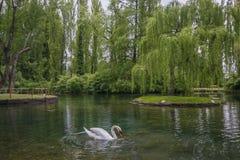 Retrato da cisne elegante e bonita no lago fotos de stock