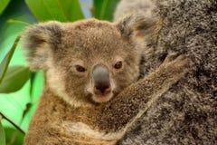 Retrato da coala do bebê fotografia de stock