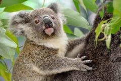 Retrato da coala do bebê imagem de stock royalty free