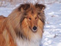 Retrato da collie em um fundo da neve Fotos de Stock