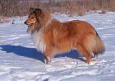Retrato da collie em um fundo da neve Foto de Stock Royalty Free