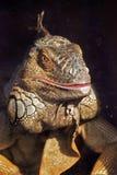 Retrato da cor da iguana no fundo escuro Imagens de Stock Royalty Free