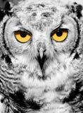 Retrato da coruja Fotos de Stock