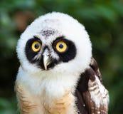 Retrato da coruja de óculos Imagem de Stock Royalty Free