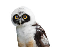 Retrato da coruja de óculos Fotografia de Stock