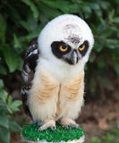 Retrato da coruja de óculos Foto de Stock