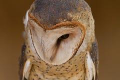 Retrato da coruja de celeiro Fotografia de Stock Royalty Free