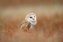 Retrato da coruja de celeiro de assento na grama clara Foto de Stock Royalty Free
