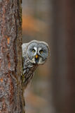 Retrato da coruja de grande cinza, nebulosa do Strix, escondido do tronco de árvore na floresta do inverno, com olhos amarelos Fotografia de Stock Royalty Free