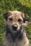 Retrato da cruz pequena do terrier de beira Imagem de Stock Royalty Free