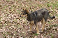 Retrato da fêmea dispersa do cão do wolfcolor no homem bonito de espera da estação de mola Imagem de Stock Royalty Free