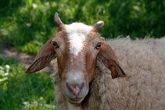 Retrato da face da cabra Fotografia de Stock