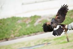 Retrato da falcoaria Fotografia de Stock