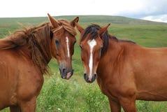 Retrato da família do cavalo Imagem de Stock Royalty Free