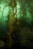 Retrato da floresta do Kelp Fotos de Stock Royalty Free