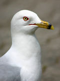 Retrato da gaivota fotografia de stock