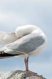 Retrato da gaivota Imagem de Stock