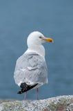 Retrato da gaivota Fotografia de Stock Royalty Free