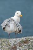 Retrato da gaivota Imagens de Stock Royalty Free