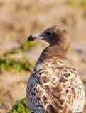 Retrato da gaivota de Franklin Fotos de Stock Royalty Free