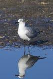 Retrato da gaivota de riso foto de stock