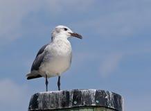 Retrato da gaivota de riso Imagem de Stock