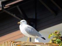 Retrato da gaivota em um resto foto de stock royalty free