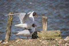 Retrato da gaivota mediterrânea Icthyaetus Melanocephalus Foto de Stock