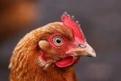 Retrato da galinha Imagens de Stock