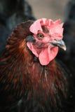 Retrato da galinha Foto de Stock Royalty Free