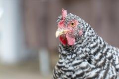 Retrato da galinha barrada galinha da rocha de Plymouth Rock na exploração agrícola fotografia de stock