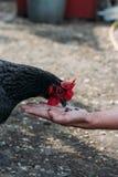 Retrato da galinha doméstica marrom com crista vermelha na cabeça Aves domésticas da galinha produzindo ovos naturais da carne pi imagem de stock