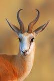 Retrato da gazela imagem de stock