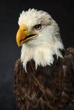 Retrato da águia calva Fotos de Stock