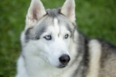 Retrato da idade do cão de puxar trenós siberian um ano imagem de stock royalty free