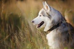 Retrato da idade do cão de puxar trenós siberian um ano fotografia de stock