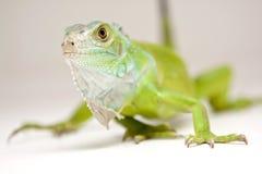 Retrato da iguana Fotos de Stock
