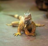 Retrato da iguana alaranjada Imagens de Stock
