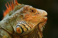 Retrato da iguana alaranjada na obscuridade - floresta verde, Costa Rica Imagens de Stock Royalty Free