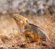 Retrato da iguana da terra, Ilhas Galápagos, Equador Imagens de Stock