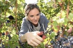 Retrato da jovem mulher que pegara uvas na estação da colheita Foto de Stock Royalty Free