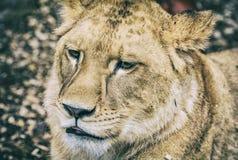 Retrato da leoa de Barbary, filtro análogo fotografia de stock royalty free