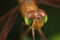 Retrato da libélula imagem de stock royalty free