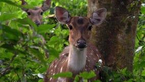 Retrato da linha central fêmea da linha central de Chital ou de Cheetal, igualmente conhecido como cervos manchados ou cervos da  filme