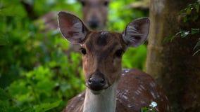 Retrato da linha central fêmea da linha central de Chital ou de Cheetal, igualmente conhecido como cervos manchados ou cervos da  video estoque